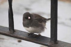 #bird #cute #dark eyed junco #fluffy #gray #grey #junco #round