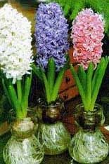 How to force hyacinth bulbs in water.