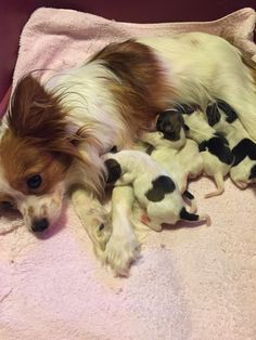 A Circle Of Love's Naughty Nina!! Papillion Puppies, Papillon Dog, Cute Puppies, Dogs And Puppies, Cute Dogs, Dog Love, Puppy Love, Animals And Pets, Cute Animals