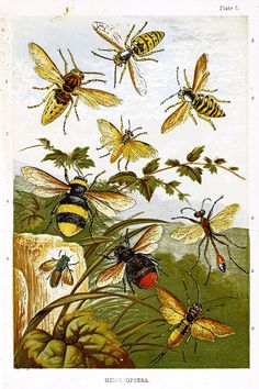 Hymenoptera illustration by Alexander Francis Lydon, an English watercolour artist, illustrator and engraver of natural history and landscapes. From Sketches of British Insects, a Handbook for Beginners in the Study of Entomology, by William Houghton (1828–1895); illustrated with coloured plates and wood engravings. Published by Groombridge & Sons, London, 1888