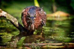 A Green Heron hunts for food along the shoreline of the Dora Canal, Tavares, Florida.