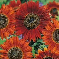 Sunflower Velvet Queen Seeds - Irish Plants Direct