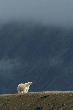 Lone Polar Bear!