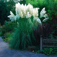 Cortaderia selloana: Pampas Grass