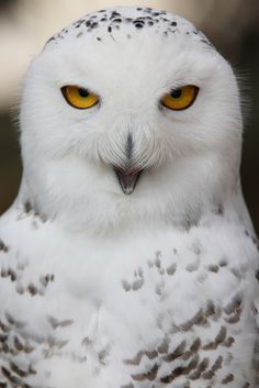 Snowy Owl-Saw one of these today on St. Simons Island-WOW how lucky am I-He was 2000 miles from home.  He has been sited here for the past week.