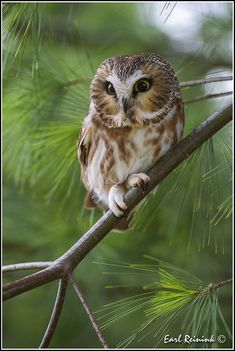 Saw-Whet Owls are common in the Northern Hemisphere, but hard to spot.  They have a loud too-too-too call, so you're more likely to hear them.  They are also one of the smallest owls in NA - about the size of a robin.