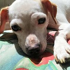Pictures of Casey a Chihuahua for adoption in Lawrenceville, GA who needs a loving home.