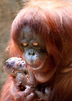 WELCOME BABY ORANGUTAN!  A Bornean orangutan was born at Brookfield Zoo. The male infant is currently bonding with his mother Sophia, 35.  It is expected that zoo guests will be able to see them in their habitat at Tropic World: Asia within a few weeks.