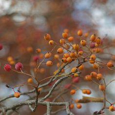 winter berries   Crush Cul de Sac.