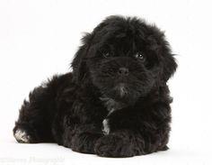 Dog: Black Pooshi (poodle X Shih-tzu) Pup Photo - on Amazing Dog Photo Ideas 2896 Shih Tzus, Shih Tzu Hund, Shih Tzu Puppy, Shih Tzu Poodle Mix, Shih Poo Puppies, Cute Dogs And Puppies, Doggies, Black Shih Tzu, Black And White