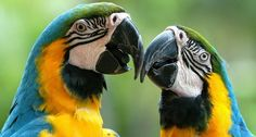 Everything you need to know about macaws.