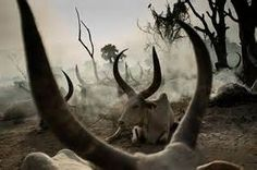 DINKA Cattle   SOUTH SUDAN  Long-horned cattle,  Dinka settlement near Rumbek,  So. Sudan   Cattle used like currency to purchase wives, compensation & settle disputes   Elders said standard fine 4/adultery is 7 cows, paid by offending male   Source: ©  Jerome Starkey @ flickr.com