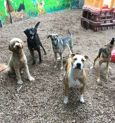 Emma, Deacon, Whiskey, Jaxon and Brandy wait patiently. Well, maybe not Brandy❤️ #ThrowTheBall #DoggieDaycare #PuppyLove #DogFriends