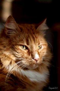 I LOVE orange cats.