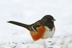Common Name: SPOTTED TOWHEE,  Scientific Name: PIPILO MACULATUS