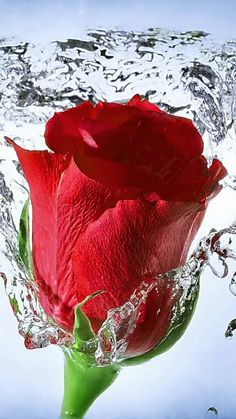 Creative Photography Wallpaper Wallpapers Also available in screen resolutions. Beautiful Rose Flowers, Red Flowers, Rose Flower Wallpaper, Foto Gif, Rose Images, Love Pictures, Flower Power, Plants, Animation
