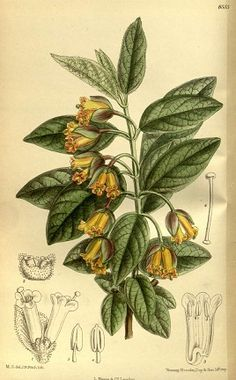 twinberry lonicera involucrata | from homepage february 4 2006 twinberry lonicera involucrata is a ...