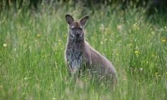 A red-necked wallaby in a meadow on the Isle of Man.