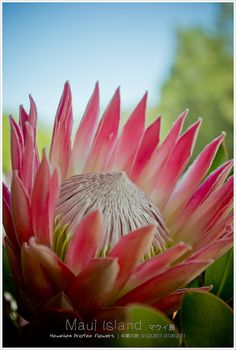 Hawaiian protea flowers by L.F.Lee, via Flickr