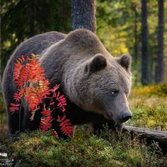 Brown Bear - Photo by ©Urs Schmidli #WildGlobe