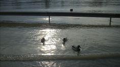 Ilyenek a Budapesti kacsák, (talán hallgatták a miniszterelnök beszédét), itt voltak az áradás előtt is, itt voltak akkor is amikor az országútra sodorta őket a víz, és itt vannak az áradás után is!