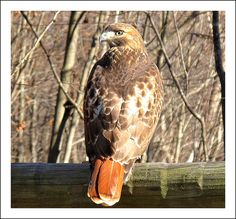 large red tail hawk