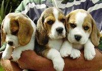 Trzy, Szczeniaki, Beagle