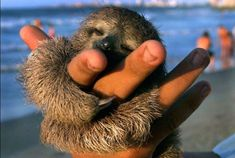 Look how content this little baby sloth is…all he needs is love.