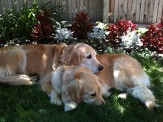 Beautiful goldens / Dogs Natural Magazine