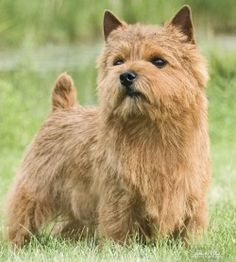 ~norwich terrier~ ok I don't want another dog but this breed is pretty cute!!!