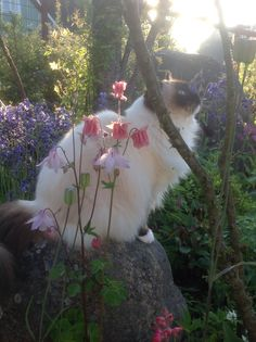 Our lovely Ragdoll Havanna jennysvitavillervalla.blogspot.se