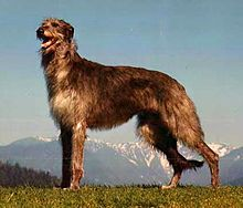 Scottish Deerhound, one day I will have one of these dogs!  Though, they seem to be rare in the US!