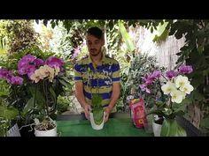 Uite cum se inmulteste orhideea Phalaenopsis - YouTube