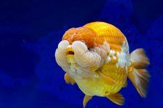 Ranchu (Goldfish)