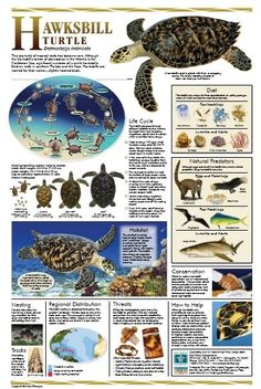 Learn about sea turtles and shorebirds on Anna Maria Island Sea Turtle Wallpaper, Types Of Turtles, Sea Turtle Pictures, Turtle Facts, Tortoise Habitat, Save The Sea Turtles, History Posters, Tortoise Turtle, Marine Conservation