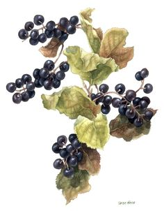 Saskatoon Berries, by Caren Heine