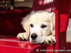 Our sweet boy Moses when he was just a baby - LOVE this dog! www.nicholberrygoldens.com