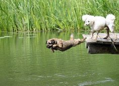 Border terrier dock diving - before the Poodle, of course! Border Terrier, Doggies, Dogs And Puppies, Cute Borders, Brown Dog, Pet Id, Vintage Dog, Dog Boarding, Terrier Dogs