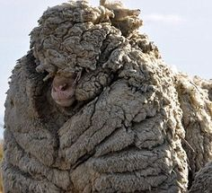 Currently the world record for a single fleece is held by a New Zealand sheep named 'Shrek'.
