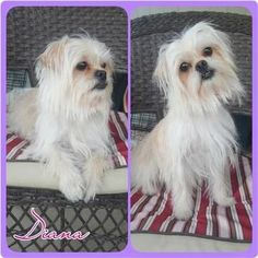 Check out Diana's profile on AllPaws.com and help her get adopted! Diana is an adorable Dog that needs a new home. https://www.allpaws.com/adopt-a-dog/shih-tzu-mix-yorkshire-terrier-yorkie/6116469?social_ref=pinterest #yorkshireterrier