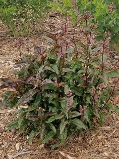 Penstemon digitalis 'Husker Red' Beardtongue  Drought tolerant, Deer resistant, attracts bees, butterflies and hummingbirds alike!