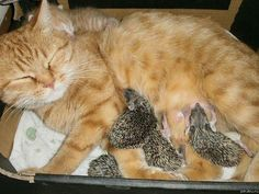 Mama cat Sonya adopted four orphaned hedgehog babies when they were rescued after losing their Mama, and cared for them alongside her own kitten!! <3