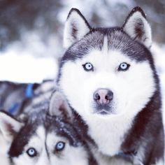 Blue-eyed Siberian Huskies