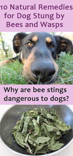 10 Effective Home Remedies For Dog Stung By Bees And Wasps Dog Bee Sting Wasp Stings Remedies For Bee Stings