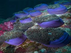 A Vida Nas Águas do Mar Vermelho - Jardim de Anêmonas do Mar