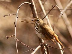 Hermit Thrush.Vermont state bird