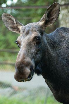 Happy Moose                                                                                                                                                                                 More