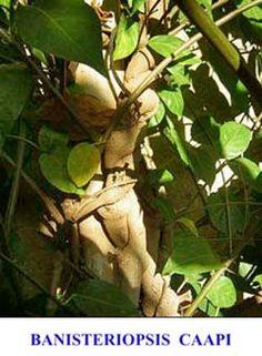 Adenanthera Yopo 100 Samen Anadenanthera peregrina