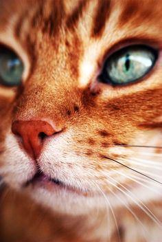 """""""In my world, the grass is green, the sky is blue and all cats are orange."""" --Jim Davis (Creator of """"Garfield"""") cats I Love Cats, Crazy Cats, Cool Cats, Cute Kittens, Cats And Kittens, Big Cats, Beautiful Cats, Animals Beautiful, Beautiful Pictures"""
