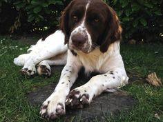 Bob - Dutch patridge dog